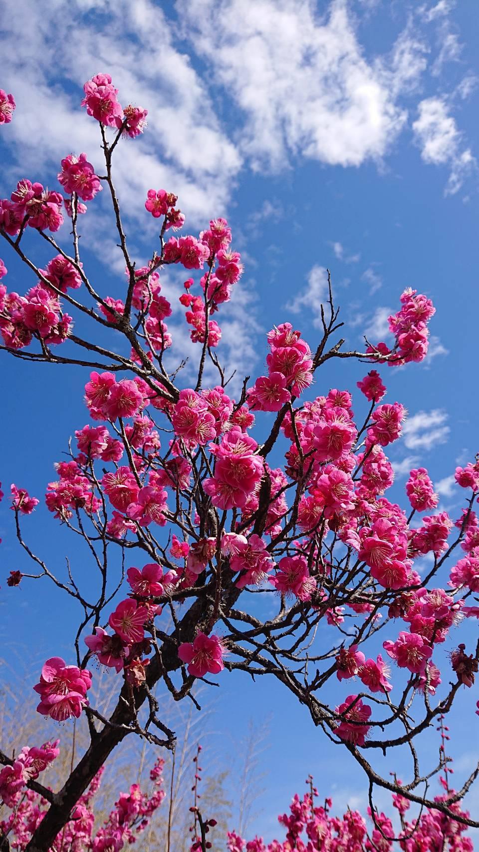 梅の花が綺麗ですね!
