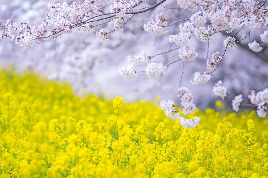 お食事シリーズ~菜の花~