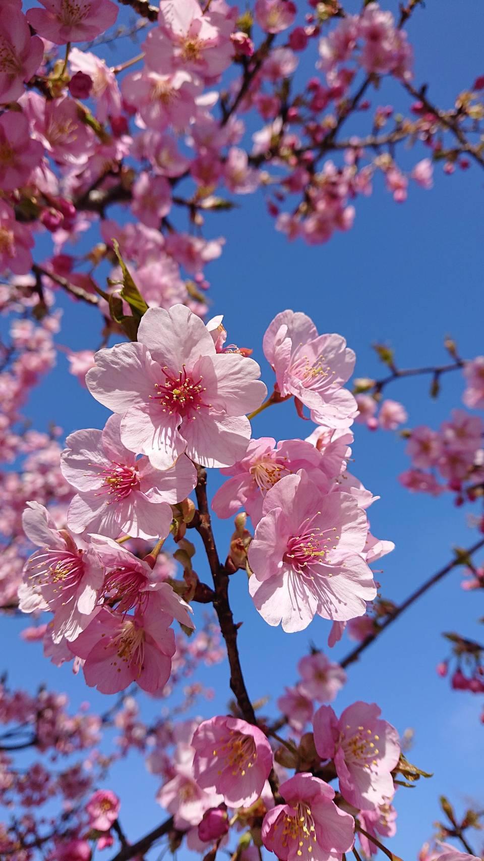 桜の季節がやってきましたね!